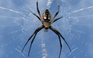 Black And Yellow Spider 11 High Resolution Wallpaper