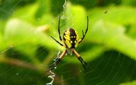 Black And Yellow Spider 17 Background Wallpaper