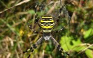 Black And Yellow Spider 21 Hd Wallpaper