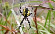 Black And Yellow Spider 23 High Resolution Wallpaper