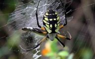 Black And Yellow Spider 24 Background Wallpaper