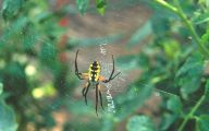Black And Yellow Spider 26 Widescreen Wallpaper
