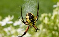 Black And Yellow Spider 27 Desktop Wallpaper