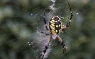 Black And Yellow Spider 28 Cool Wallpaper