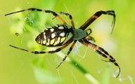Black And Yellow Spider 29 Hd Wallpaper