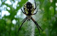 Black And Yellow Spider 37 Background