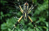 Black And Yellow Spider 8 Free Hd Wallpaper
