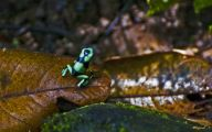 Green And Black Poison Dart Frog 13 Cool Wallpaper