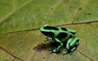 Green And Black Poison Dart Frog 17 Desktop Wallpaper