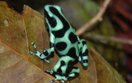 Green And Black Poison Dart Frog 2 High Resolution Wallpaper
