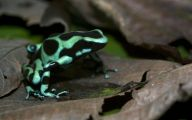 Green And Black Poison Dart Frog 21 Background