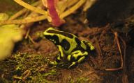 Green And Black Poison Dart Frog 29 Desktop Wallpaper