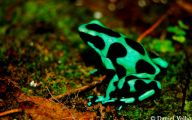 Green And Black Poison Dart Frog 44 Free Wallpaper