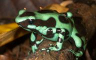 Green And Black Poison Dart Frog 52 Cool Hd Wallpaper