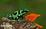 Green And Black Poison Dart Frog 53 Background Wallpaper