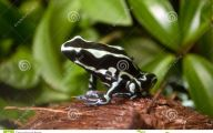 Green And Black Poison Dart Frog 57 Background
