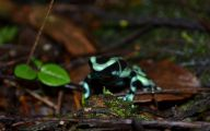Green And Black Poison Dart Frog 61 Free Hd Wallpaper