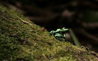 Green And Black Poison Dart Frog 9 Background Wallpaper