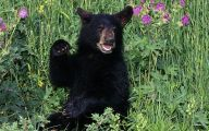 Black Bear 13 Free Hd Wallpaper