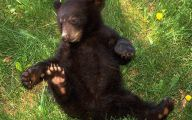 Black Bear 14 Free Wallpaper