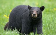 Black Bear 15 Hd Wallpaper