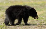 Black Bear 17 High Resolution Wallpaper