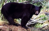 Black Bear 19 Hd Wallpaper