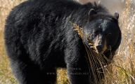 Black Bear 2 Cool Hd Wallpaper