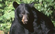 Black Bear 20 Cool Wallpaper
