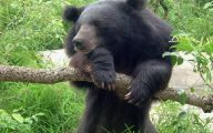 Black Bear 26 Cool Hd Wallpaper