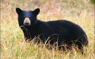 Black Bear 27 Free Wallpaper