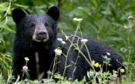 Black Bear 29 Widescreen Wallpaper