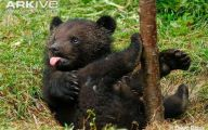 Black Bear 30 Free Hd Wallpaper