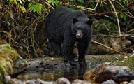 Black Bear 31 Cool Wallpaper