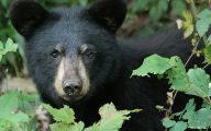 Black Bear 34 Cool Wallpaper