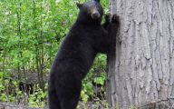 Black Bear 36 High Resolution Wallpaper