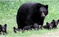 Black Bear 37 Background Wallpaper