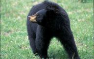 Black Bear 38 Free Wallpaper