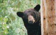 Black Bear 5 Widescreen Wallpaper