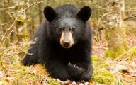 Black Bear 7 Desktop Wallpaper