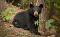 Black Bear 8 Widescreen Wallpaper