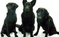 Black Dog 4 Background Wallpaper