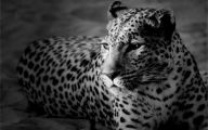 Animals Black And White 22 High Resolution Wallpaper