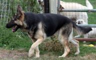 Black And Silver German Shepherd  16 Hd Wallpaper