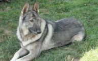 Black And Silver German Shepherd  21 Cool Wallpaper