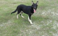 Black And Silver German Shepherd  26 Widescreen Wallpaper