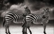 Black And White Animals  16 Widescreen Wallpaper