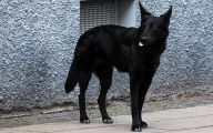 Black Dog 24 Background Wallpaper