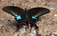 Blue And Black Butterfly  10 Free Hd Wallpaper