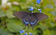 Blue And Black Butterfly  11 Free Hd Wallpaper
